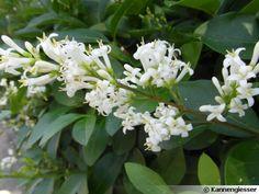 Ligustrum vulgare/ Troène commun. Floraison blanche parfumé de juin à juillet