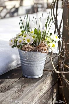 A sign of spring even with snow on the ground beautiful primroses Deco Floral, Arte Floral, Early Spring, Spring Time, Primroses, Spring Bulbs, Winter Garden, Spring Flowers, Easter Flowers