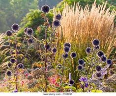 Stock Photo - Echinops ritro balls in front of Calamagrostis 'Karl Foerster' Willow Wreath, Multiple Images, Stock Photos, Headdress, Illustration, Balls, Gardens, Chocolate, Formal Gardens