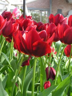 hot-red tulips! <3