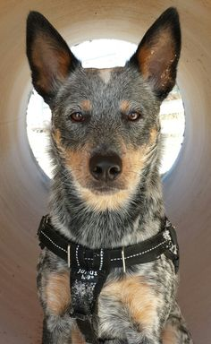 Emily. Australian Cattle Dog.