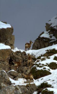 Naturaleza en Asturias: Rebecos de Somiedo Spain
