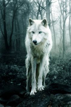 my wolf - Google Search