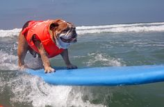 FLAWLESS TALENT. | 54 Reasons You Should Go To A Dog Surfing Competition Before You Die