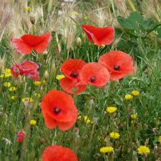 Wild poppies growing in Italy