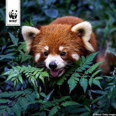 Was sagt ihr: Ist der Rote Panda tatsächlich das schönste Säugetier auf Erden, wie sein Entdecker Georges Cuvier ihn im Himalaya nannte?