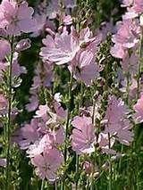 Sidalcea 'My Love' - Gardenaway