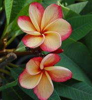 Images of Plumeria varieties - Heliconia Paradise