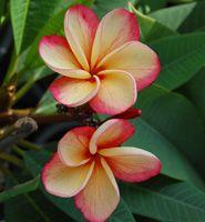 Images of Plumeria varieties - Heliconia Paradise