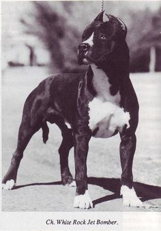Pedigree information about the American Staffordshire Terrier White Rock Jet Bomber Pitbull Terrier, Boston Terrier, Joker Images, Black And White Dog, American Pit, American Staffordshire, Vintage Dog, Dogs Of The World, Family Dogs