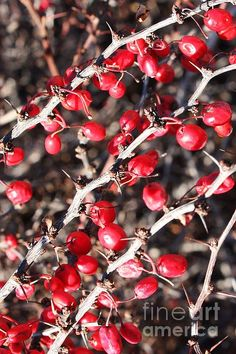 """Thorns and Berries"" by Carol Groenen  #nature #berries #redberries #thorns #carolgroenennature #natureart #naturecards   carol-groenen.artistwebsites.com"