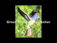 Bird Call Video (34 common US birds)