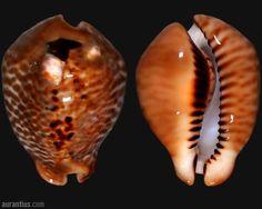 Murycypraea mus bicornis from Colombia by André Poremski