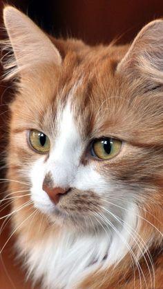 gorgeous ginger & white cat portrait
