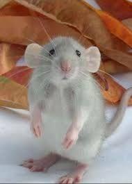 Tener una rata en casa como mascota http://blog.theyellowpet.es/tener-rata-casa/