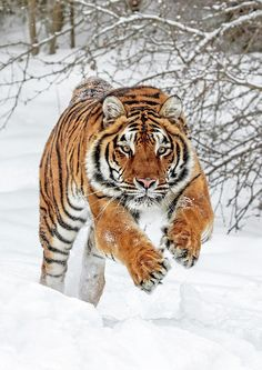 Siberian Tiger by © Wes and Dotty Weber