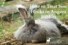 Even the best angora rabbit breeders need these tips for grooming angora rabbits, especially when there are matts and mites. Learn the tricks and tips. Angora Bunny, Angora Rabbit, Dwarf Bunnies, Bunny Hutch, Bunny Care, Fluffy Bunny, Backyard Farming, Cute Bunny, Guinea Pigs
