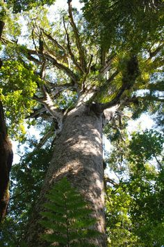 Four Sisters giant kauri trees in Waipoua Forest