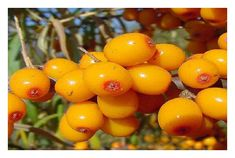 Sea buckthorn is a strong antioxidant that could help with skin health, dry eye syndrome, and heart disease prevention. Anti Aging Tips, Anti Aging Skin Care, Aloe Vera, Romeo Und Julia, Acne Oil, Anti Aging Cream, Stevia, Health Benefits, The Cure