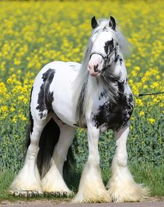 Gypsy vanner draft horse
