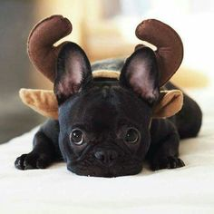 """I WAS a French Bulldog Puppy....I guess I'm now a Reindeer""."