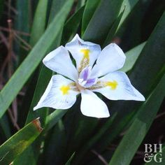 Throw a few African iris next to a sidewalk; they won't mind. These easy-maintenance plants are perfect for stretching down your walkway. In fact, this summer bloomer loves hard-to-grow spots, bearing dozens of white flowers from spring through summer. Plant Name: Dietes bicolor Growing Conditions: Sun or shade and well-drained soil Size: To 3 feet tall and wide Grow It With: Pair the delicate beauty of African iris with a petite sunflower for pretty, neutral color. Zones: 8-11