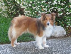 Lucky, my foster sheltie
