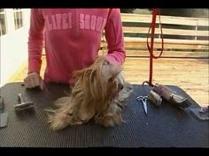 ▶ Grooming a Yorkie in a Long Coat - YouTube