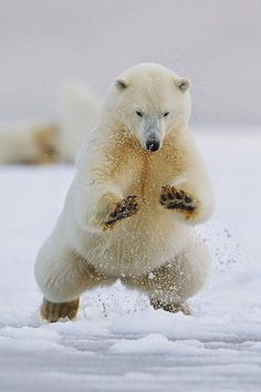 Polar Bear Pounce / (Source: beautymothernature)