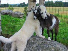 Vriendschap hond en geit