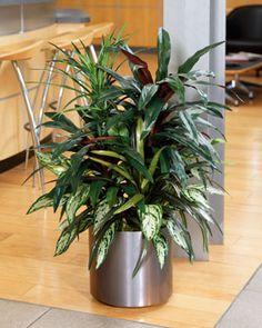 Silk Dracena Plants