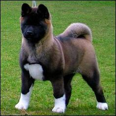 AKITA  This makes me remember my parents Akita, Judge.  His head was as big as a bears.  Huge dog and very gentle unless you were a cat :(  He adored my mom.