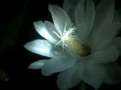 Flor que só  desabrocha a noite. Simplesmente linda seu perfume muito suave.