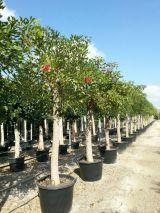 MIL ANUNCIOS.COM - Olivos. Plantas olivos en Alicante. Venta de plantas de segunda mano olivos en Alicante. plantas de ocasión a los mejores precios.
