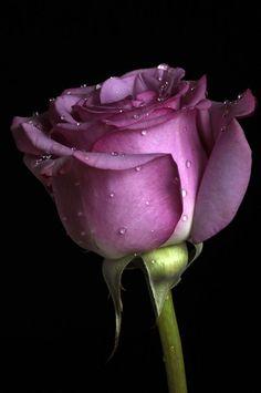"thelordismylightandmysalvation: "" Rose in pink tone Photo by Cristobal Garciaferro Rubio on Fivehundredpx """