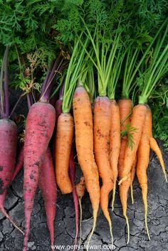 how to store garden carrots