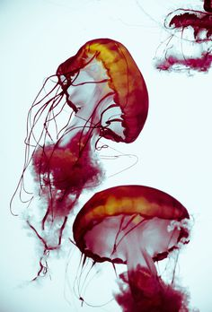 Beauty by means of the jellyfish