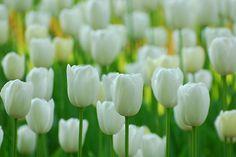 My favorite flower (In case you are wondering!) - my favorite, too!