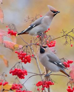 """10.1k Likes, 98 Comments - Nuts About Birds Est Jan 13 (@nuts_about_birds) on Instagram: """"✨Bohemian Waxwings, Netherlands  ✨ . Congratulations  @jan_butter_ . ✨Your bird photo has been…"""""""