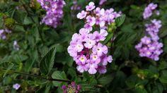 Flowers in my front garden ...