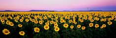 LET THERE BE JOY, SUNFLOWERS, NSW