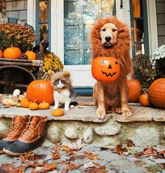 Will roar for treats  @puffinandbennie. Happy Halloween from a couple of mighty lions.