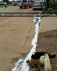 spilled milk brings all the cats to the yard