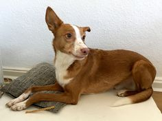 Podenco Cody with a smirk, Foto: U. Latzke