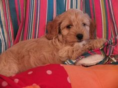 Cockapoo Puppy Photos - THE COCKAPOO CLUB OF GB Cockapoo Puppies, Dogs And Puppies, Baby Furniture Sets, Photo Galleries, Club, Gallery, Photos, Animals, Pictures