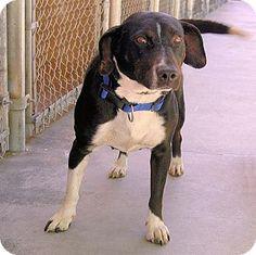 Red Bluff, CA - Labrador Retriever/Cattle Dog Mix. Meet SUZY, a dog for adoption. http://www.adoptapet.com/pet/10892685-red-bluff-california-labrador-retriever-mix