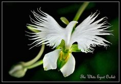 The White Egret Orchid