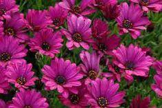Osteospermum - The Cape Daisy Sunny Mary