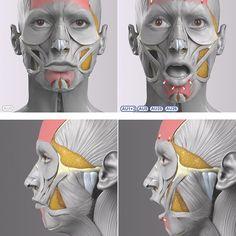 Anatomy Drawing Female Anatomy of Surprise Face Muscles Anatomy, Facial Anatomy, Head Anatomy, Human Body Anatomy, Anatomy Poses, Muscle Anatomy, Anatomy Art, Human Anatomy Drawing, Anatomy Of The Face