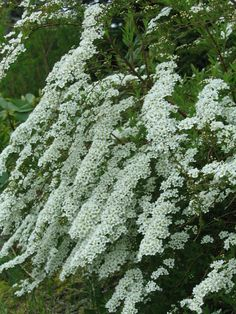 "Spiraea x arguta, ""Garland Spirea"" A spring blooming shrub"
